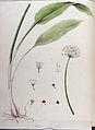 Allium ursinum — Flora Batava — Volume v11.jpg