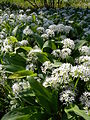Allium ursinum 1 BOGA.jpg