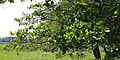 Alnus glutinosa foliage.jpg