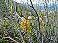 Alnus viridis in Ukrainian Carpathian Mountains catkin.JPG