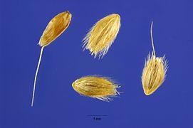 Alopecurus carolinianus seeds.jpg