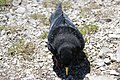 Alpine chough - Pyrrhocorax graculus (14465348616).jpg