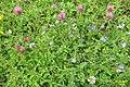 Alpine flora (Gru) (37846764172).jpg