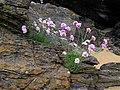Alpines, Culdaff beach - geograph.org.uk - 1338700.jpg
