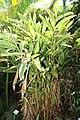 Alpinia zerumbet 38zz.jpg
