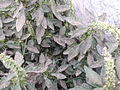 Amaranthus spinosus-2-yercaud-salem-India.JPG