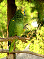 Amazona aestiva -perching on branch-6a.jpg