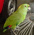 Amazona auropalliata -on cage-5.jpg
