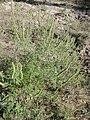 Ambrosia artemisiifolia kz13.jpg