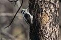 American Three-toed Woodpecker Signal Burn Gila NF NM 2017-10-18 09-02-58 (39043145182).jpg