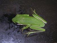 American green tree frog 1.JPG