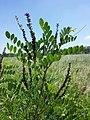 Amorpha fruticosa sl2.jpg
