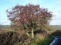 An Abundance of Berries - geograph.org.uk - 297850.jpg