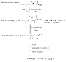 fatty acid synthesis   wikipediasynthesis of unsaturated fatty acids via anaerobic desaturation