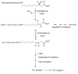 Fatty acid synthesis - Synthesis of unsaturated fatty acids via anaerobic desaturation