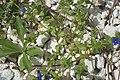 Anagalis caerulea-2743.jpg