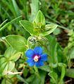 Anagallis monelli - Shrubby pimpernel - (Primulaceae) - Flickr - gailhampshire.jpg