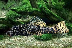 jour 4: le declin des reptiles? 300px-Ancistrus_cirrhosus