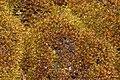 Andreaea rupestris (b, 150028-481738) 3753.JPG