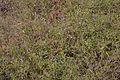 Andrographis paniculata - Agri-Horticultural Society of India - Alipore - Kolkata 2013-01-05 2270.JPG