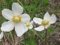 Anemona flower.JPG