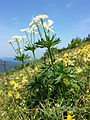 Anemonastrum narcissiflorum sl4.jpg