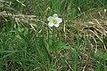 Anemone sylvestris in natural monument Sedlina in spring 2012 (1).JPG