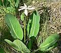 Anemopsis californica 3.jpg