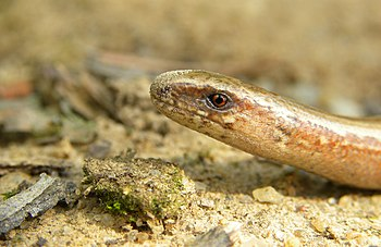 English: Slow worm, slow-worm, slowworm, blind...