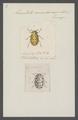 Anisosticta - Print - Iconographia Zoologica - Special Collections University of Amsterdam - UBAINV0274 037 11 0006.tif