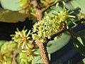 Anogeissus latifolia at Masinagudi (6).jpg