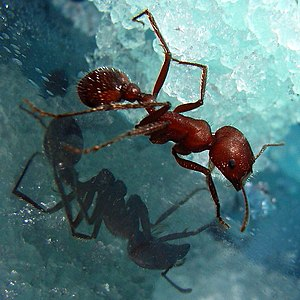 Metasoma - The metasoma is clearly visible on this ant: it is the posterior section, including the petiole.
