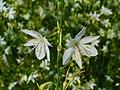 Anthericum ramosum 002.JPG