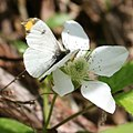 Anthocharis scolymu (male) on Rubus hirsutus.jpg