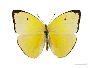 <i>Aphrissa statira</i> species of insect