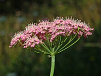 Apiaceae - Pimpinella major-1.JPG