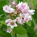 Apocynum androsaemifolium var. androsaemifolium 3.jpg