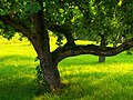 Apple Tree - panoramio.jpg
