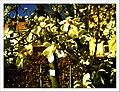 April Magnolia grandiflora Freiburg Botanischer Garten - Master Botany Photography 2013 - panoramio (5).jpg