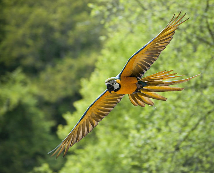 A Blue-and-yellow Macaw flying at Pont-Scorff Zoo, Morbihan, Brittany, France.