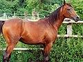 Arabian Purebred Stallion 0001.jpg