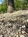 Arabidopsis thaliana sl23.jpg