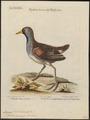 Aramides carolina - 1700-1880 - Print - Iconographia Zoologica - Special Collections University of Amsterdam - UBA01 IZ17500047.tif