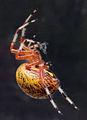 Araneus marmoreus (marbled orb weaver) (Newark, Ohio, USA) 2 (17248677382).jpg