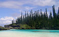 Araucaria columnaris 09JAN2011 052.jpg
