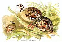 Arboricola Brunneipectus