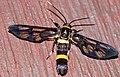 Arctiid Moth (Syntomoides imaon) (8753843282).jpg