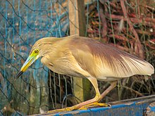 Ardeola grayii, Indian pond heron 4.jpg