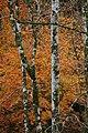 Armadale Birches. - geograph.org.uk - 1637250.jpg