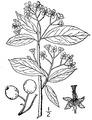 Aronia melanocarpa (Michx.) Elliott.tiff